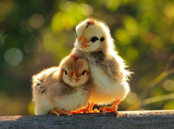 Два цыпленка авиколор