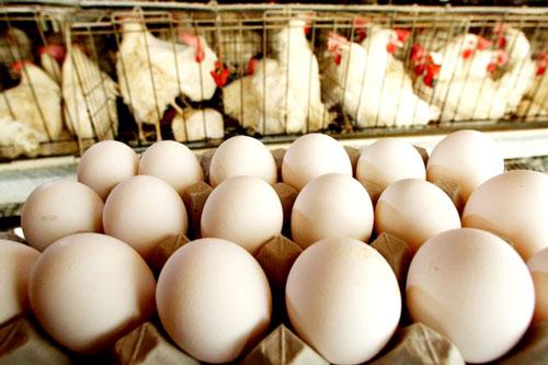 Куры и яйца в лотке