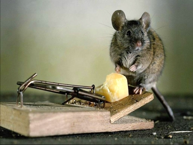 Мышь клюнула на приманку