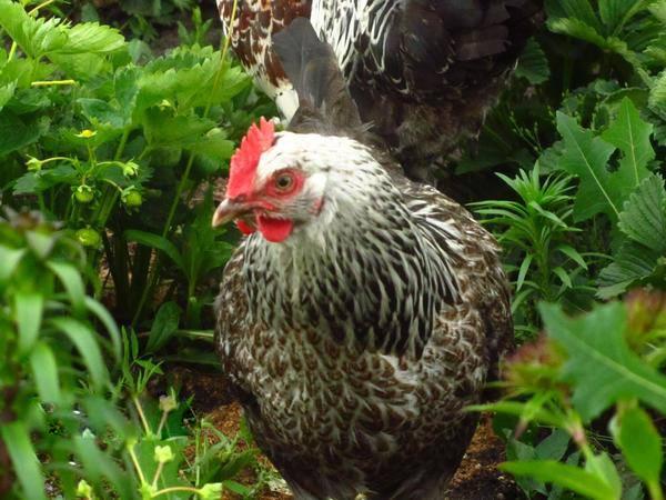Курица Котляревской породы крупным планом