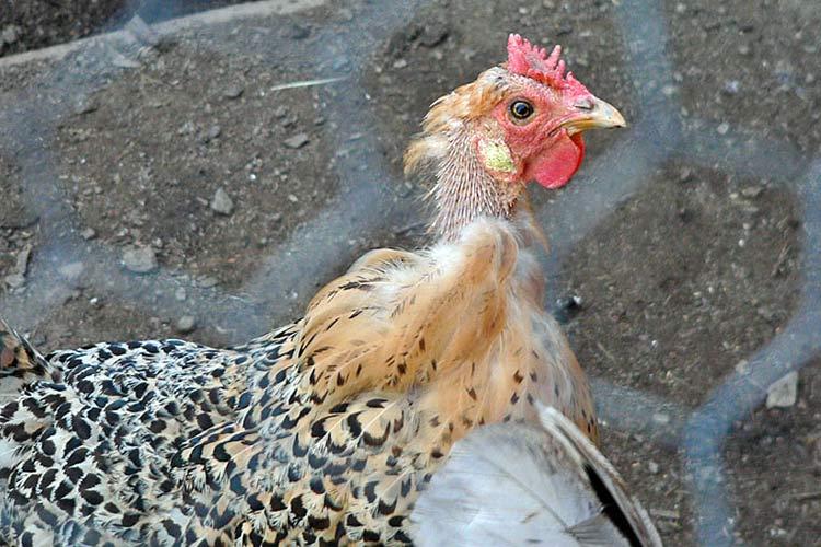 Линяющая шейка курицы