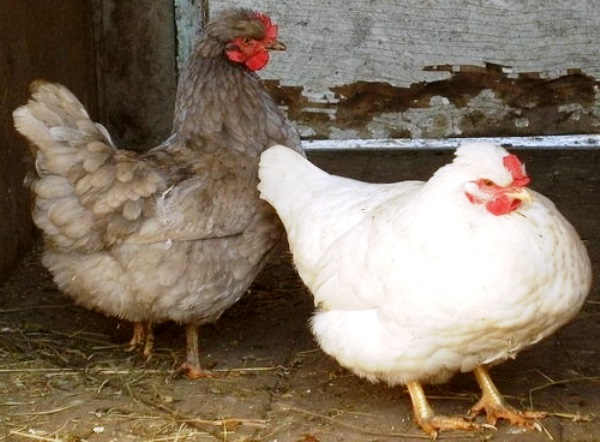 Больная и здоровая курица