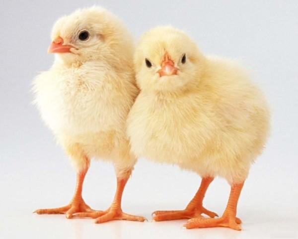 Два цыпленка бройлера стоят рядом