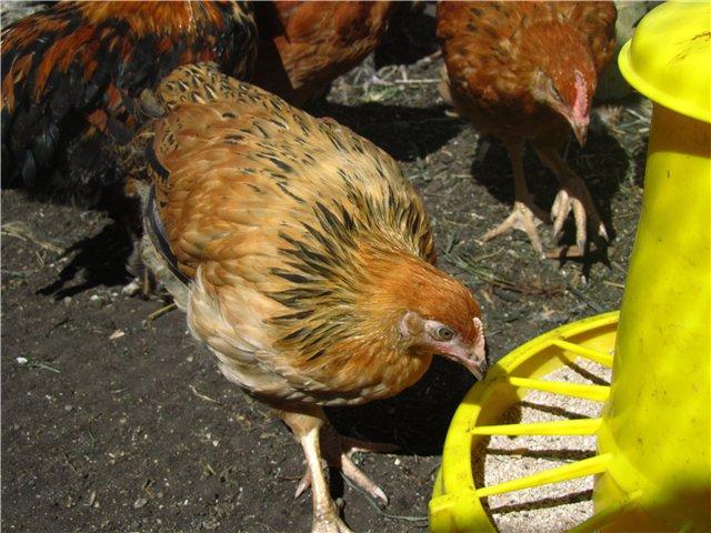 Молодой цыпленок возле кормушки