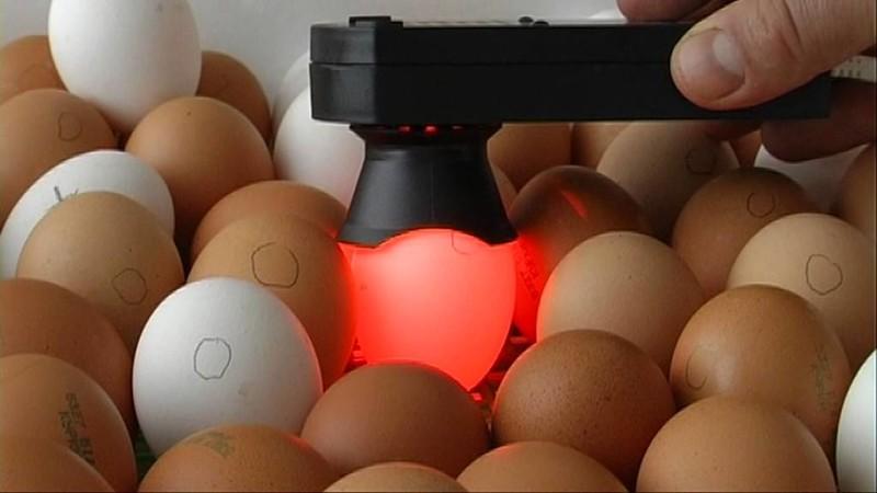 Просвечивание яиц овоскопом