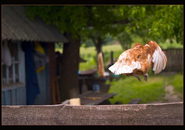 Курица перелетела забор