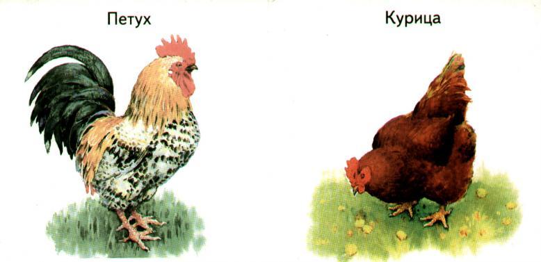 Петух и курица разного окраса