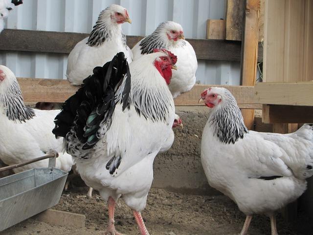 Петух и курицы породы Адлерские серебристые