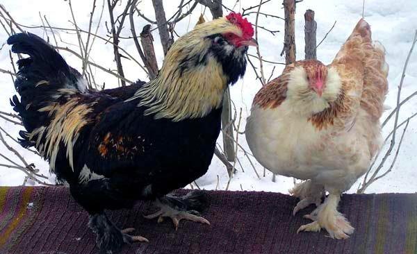 Петух и курица зимой на улице
