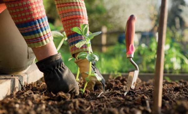 Огородник сажает растения