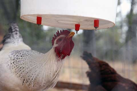 Курица пьет из ниппельной поилки
