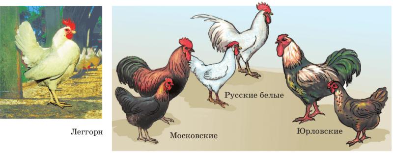 Куры разных пород