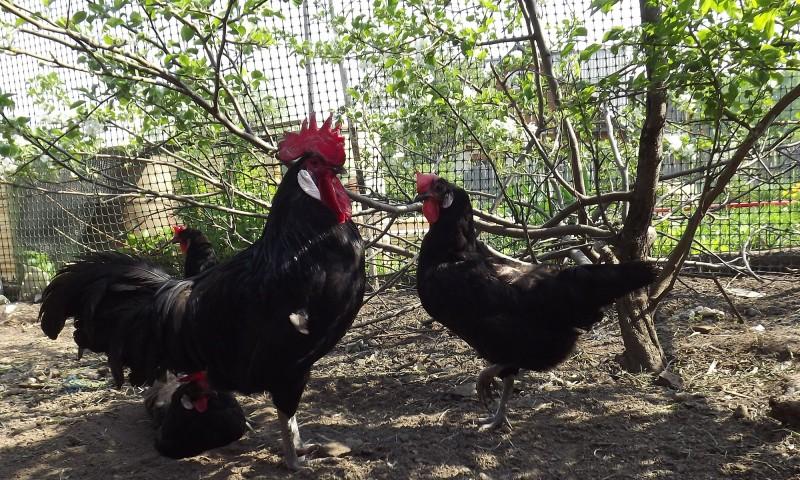 Петух и курицы породы Минорка