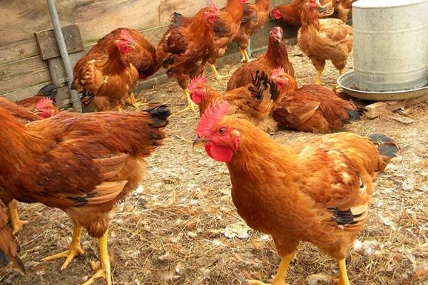 Куриное поголовье на выгуле