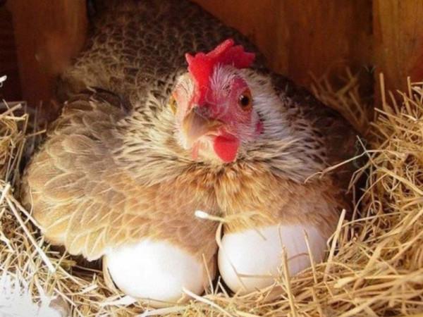 Несушка с яйцами в гнезде