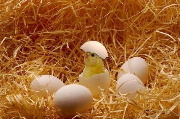Недавно вылупившийся цыпленок