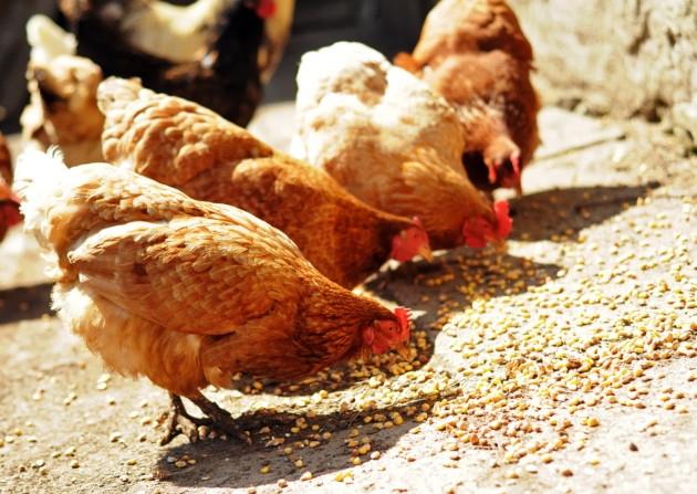 Несушки клюют зерна