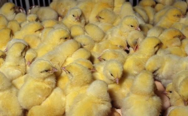 Группа маленьких цыплят