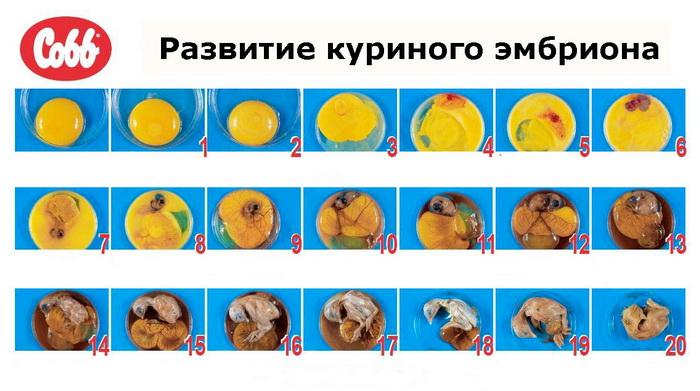 Развитие эмбриона внутри яйца