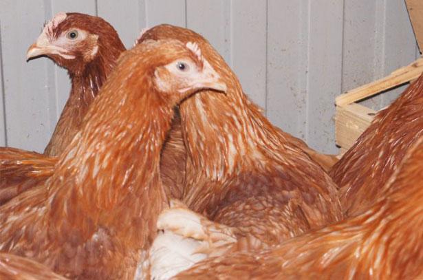 Три курицы Родонит
