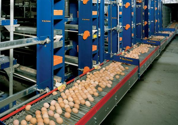 Сбор яиц на птицефабрике