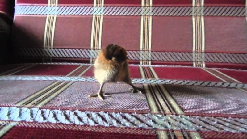 Шпагатик у цыпленка
