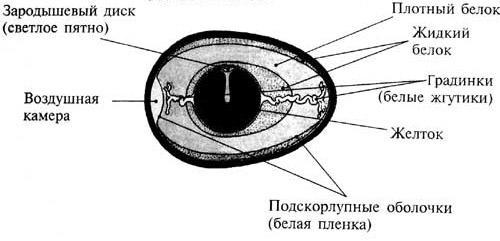 Схема строения яйца с зародышевым диском