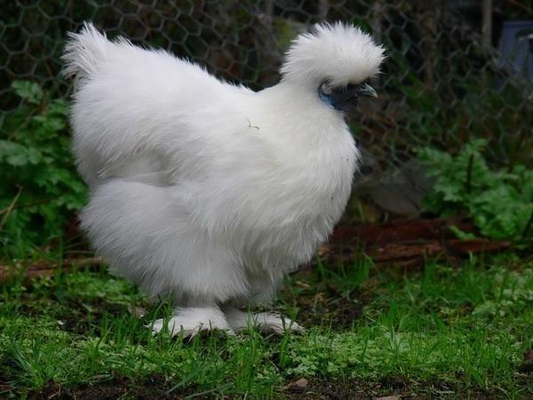Белая курочка на лужайке