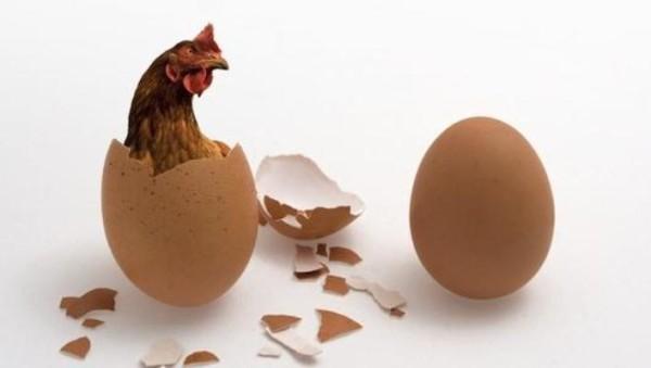 Курица выглядывает из скорлупы