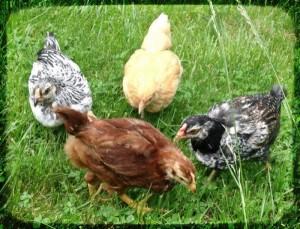 Цыплята Доминант в траве