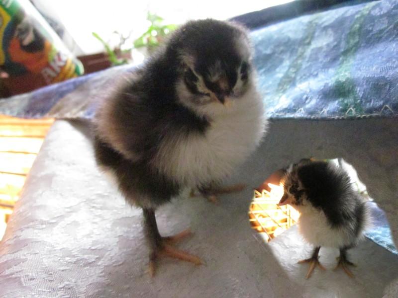 фото цыплят марана уровень постеризации