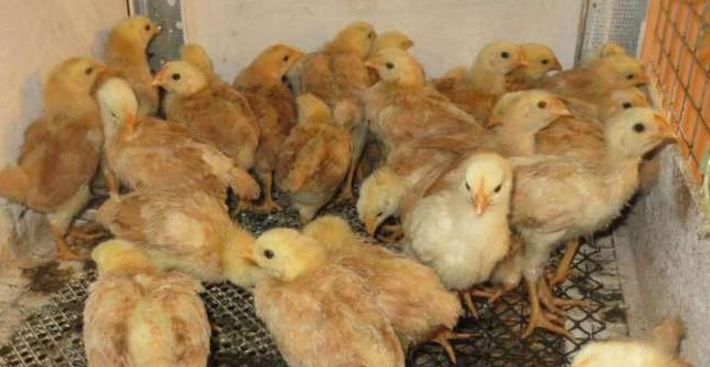 Цыплята Полтавской Глинистой