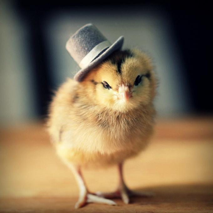 Маленький цыплёнок в шляпе