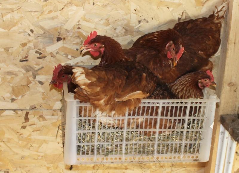 Птицы сидят в пластиковом ящике