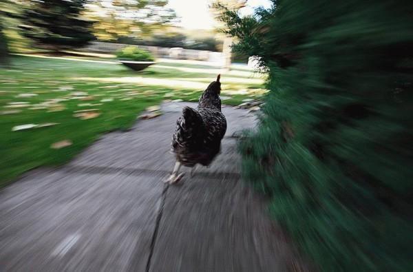 Курица смогла сбежать