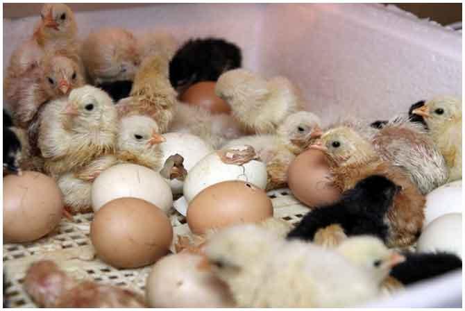 Цыплята в инкубаторе Идеальная наседка