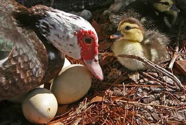 Индоутка с яйцами и птенцом