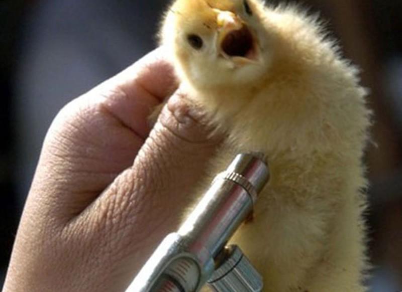 Вакцинация птенца