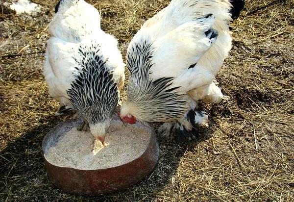 Птицы породы Брама возле кормушки