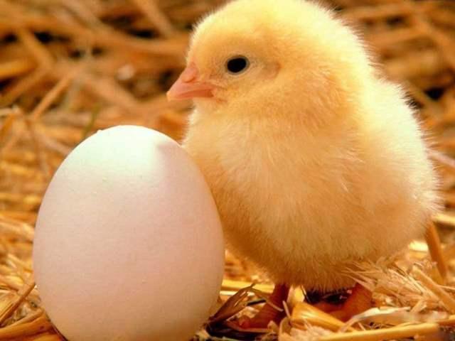 Цыпленок РОСС-308 и яйцо