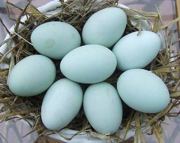 Яйца с голубой скорлупой
