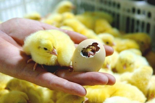 Вылупившийся цыпленок на руке