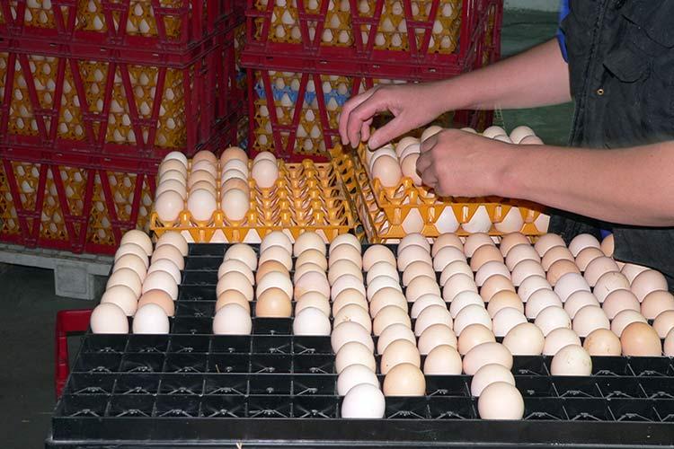 Подготовка яиц к закладке в инкубатор
