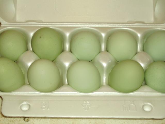 Зеленые яйца Арауканских кур