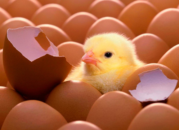 Цыпленок среди яиц