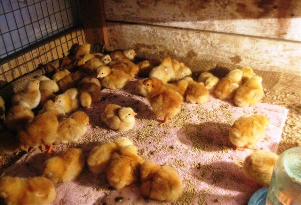 Суточные цыплята в клетке